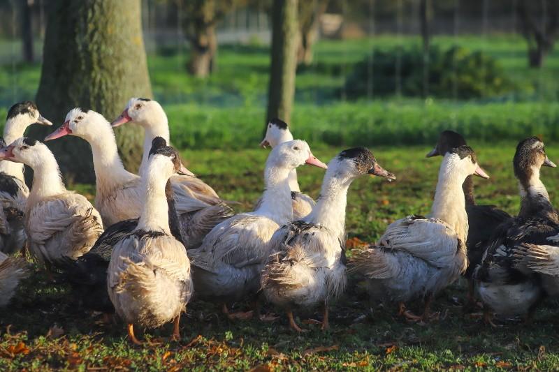 Canards en parc